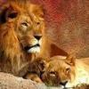 Аллергическая реакция на шерсть львов: необычный случай