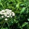 Анис обыкновенный (масло, семена аниса) - описание, лечебные свойства, применение