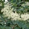 Аралия маньчжурская, настойка аралии- описание, полезные свойства, применение
