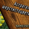 Астрагал шерстистоцветковый лечебные свойства , применение , противопоказания