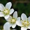 Белозор болотный - описание, полезные свойства, применение