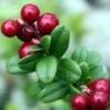 Брусника - лечебные свойства, противопоказания