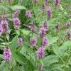 Буквица лекарственная (трава) - описание, полезные свойства, применение