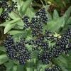 Бузина травянистая - описание, полезные свойства, применение