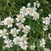 Чихотная трава – описание, полезные свойства, применение