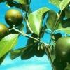 Чилибуха, или рвотный орех - описание, полезные свойства, применение