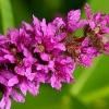 Дербенник иволистный (трава) - описание, лечебные свойства, применение