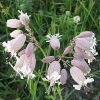 Дрема белая - описание, лечебные свойства, применение