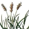Душистый колосок обыкновенный - описание, лечебные свойства, применение