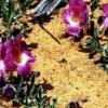 Гарпагофитум - описание, полезные свойства, применение