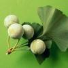 Гинкго билоба (растение) - описание, лечебные свойства, применение