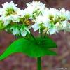 Гречиха посевная - лечебные свойства