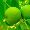 Грецкий орех - лечебные свойства