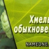 Хмель обыкновенный - лечебные свойства