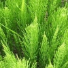 Хвощ полевой - описание, полезные свойства, применение