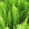 Хвощ полевой, трава хвоща - описание, полезные свойства, применение