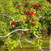Яблоня - лечебные свойства