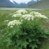 Ядовитое растение борщевик: методы борьбы