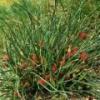 Эфедра хвощевая (трава): лечебные свойства и применение