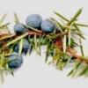 Эфирное масло можжевельника, свойства и применение