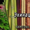 Эхинацея - лечебные свойства