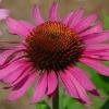 Эхинацея пурпурная - описание, полезные свойства, применение