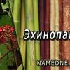 Эхинопанакс - лечебные свойства