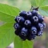 Элеутерококк: лечебные свойства и применение