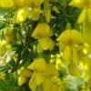 Карагана (желтая акация) - описание, применение, лечебные свойства