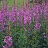 Кипрей узколистный (трава) - описание, полезные свойства, применение