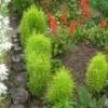 Кохия (выращивание, посадка, уход) - описание, полезные свойства, применение