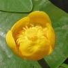Кубышка желтая - описание, полезные свойства, применение