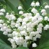 Ландыш майский - описание, полезные свойства, применение