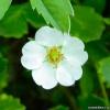 Лапчатка белая - лечебные свойства
