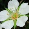 Лапчатка белая (настойка, корень лапчатки) - описание, лечебные свойства, применение