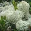 Лишайник (грибы) - описание, полезные свойства, применение