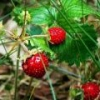 Листья земляники: лечебные свойства
