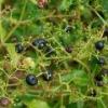 Марена красильная (корень, экстракт марены) - описание, полезные свойства, применение