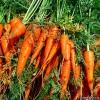 Морковь - лечебные свойства