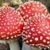Мухомор красный в народной медицине - описание, полезные свойства, применение