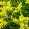 Очиток едкий (уход, выращивание) - описание, полезные свойства, применение