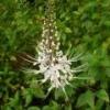 Ортосифон тычиночный - описание, полезные свойства, применение