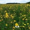 Осот огородный - описание, полезные свойства, применение