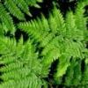 Папоротник (растение) – полезные свойства