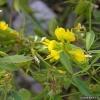 Пажитник сенной - лечебные свойства