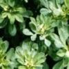 Пажитник сенной - описание, полезные свойства, применение