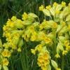 Первоцвет весенний - описание, полезные свойства, применение