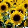 Подсолнечник: лечебные свойства, выращивание, уход