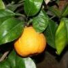 Померанец (растение) - описание, полезные свойства, применение