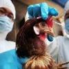 Птичий грипп: причины, симптомы, лечение